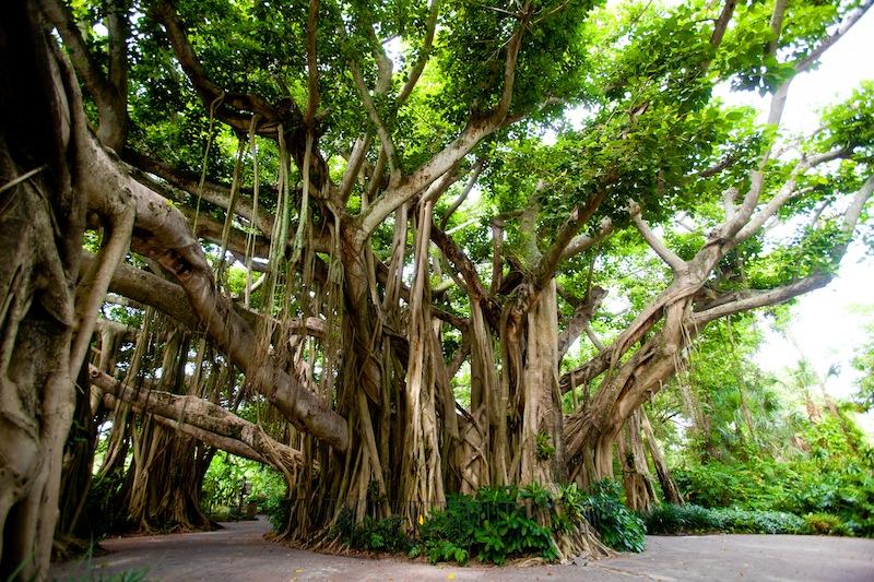 banyan_tree_07072011.jpg